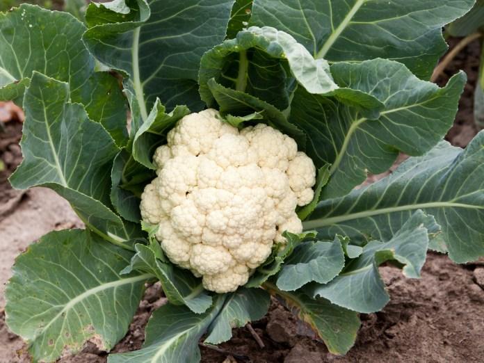 Названы главные требования цветной капусты