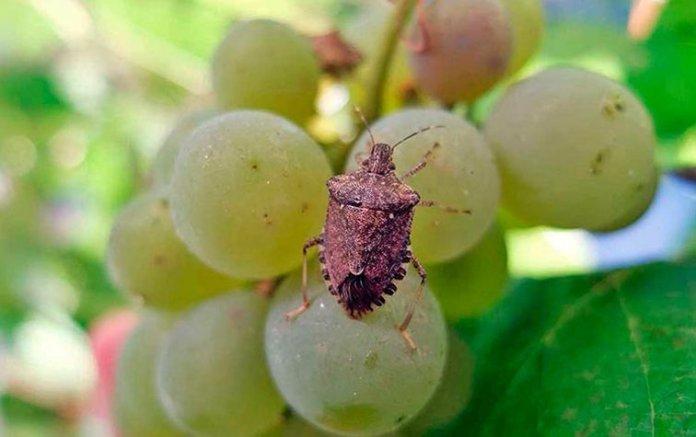 Ученые назвали карантинного вредителя, который заселяет виноград