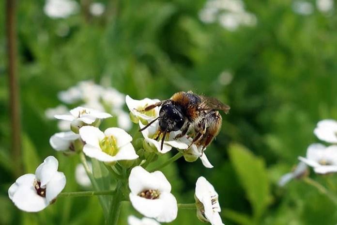 Диким пчелам нужны специальные цветочные клумбы