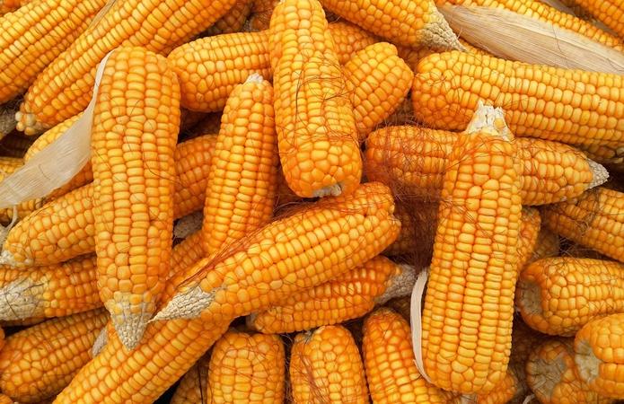 Аграрии рассказали, будут ли увеличиваться площади под кукурузой