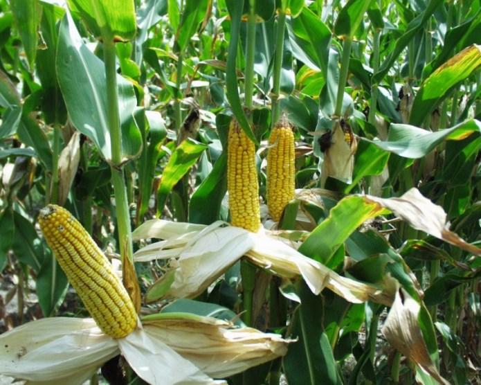 Во Львовской области введен карантин из-за опасного заболевания кукурузы