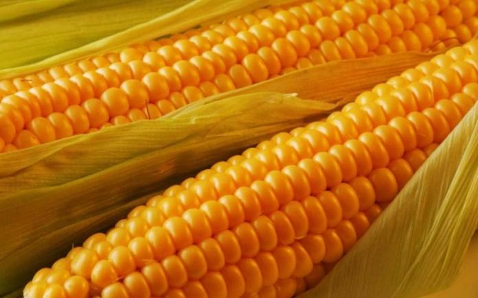 Сахарная кукуруза может стать кормовой