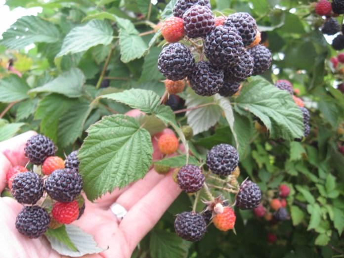 Агротехніка і лікувальні властивості  чорної малини