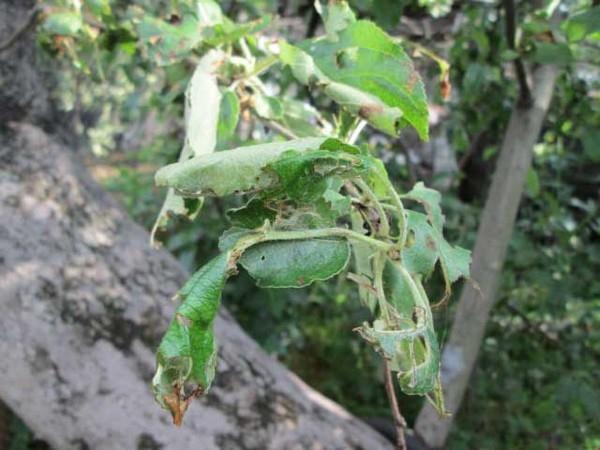 Ученые предостерегают о новой угрозе яблоневым садам