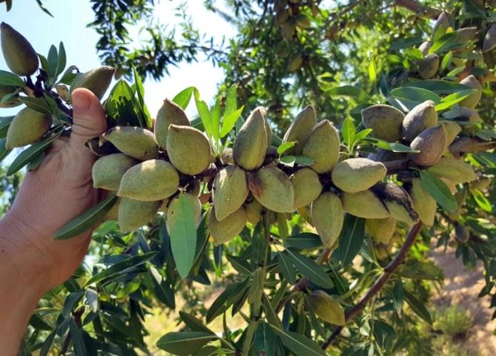 В Одесской области планируют выращивать миндаль украинской селекции
