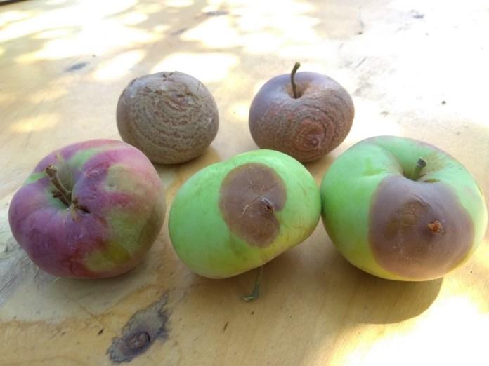 Спасаем яблоню от гнилей
