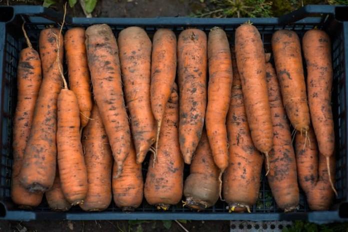 Сохранить морковь поможет чеснок