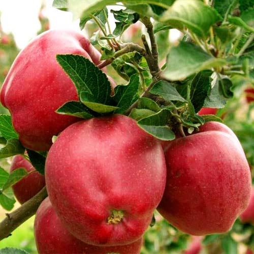 Опытний садовод из Ивано-Франковской области рассказал о подкормках и поливах в яблоневом саду
