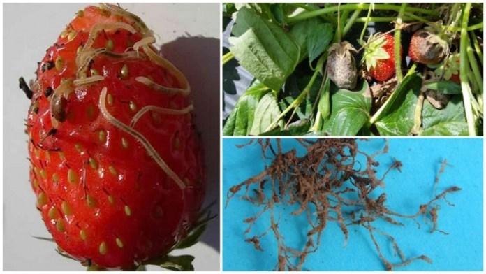 Як боротися з паразитичними нематодами на полуничних грядках?