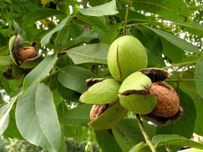 Чому не плодоносять волоські горіхи?