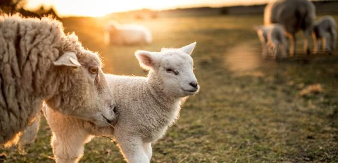 Украинский фермер вывел новую породу овец для Карпат