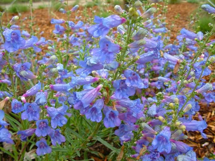 Кировоградский цветовод рассказал о самом неприхотливом растении