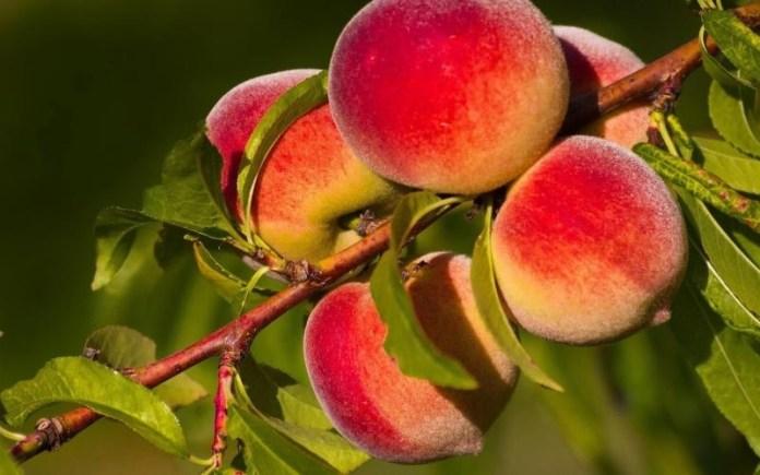 Персики погибают от клея
