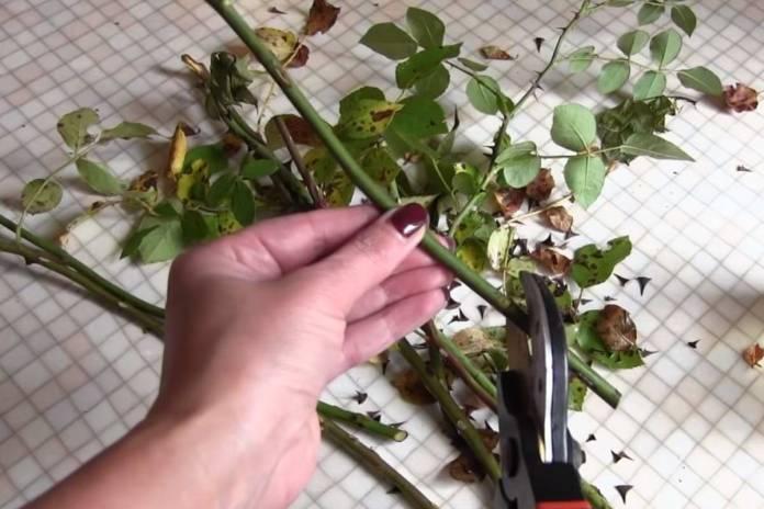 Лучший способ размножения роз осенью