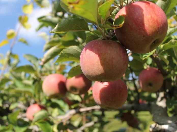 В Винницкой области хотят уничтожить часть яблоневых садов