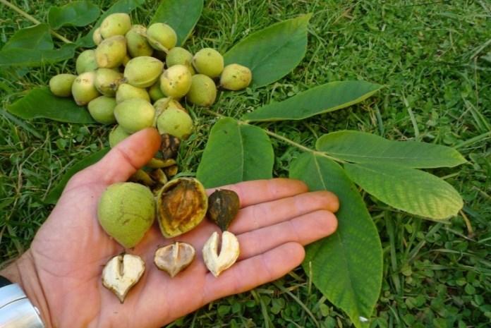 Необычный орех с плодами-сердечками