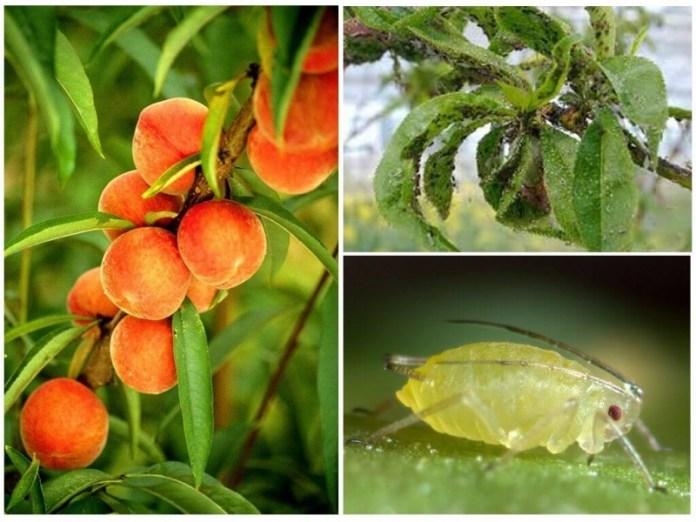 Клещи на персике: эффективные методы борьбы