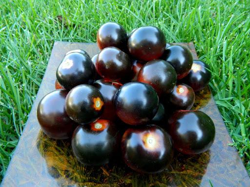 Черкасские овощеводы возделывают лечебные томаты