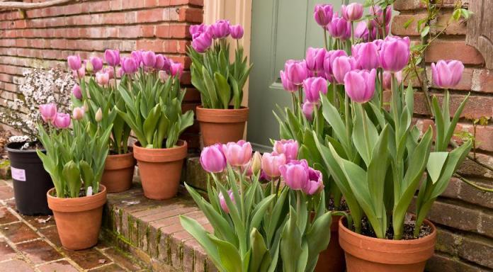 Когда можно высаживать тюльпаны?