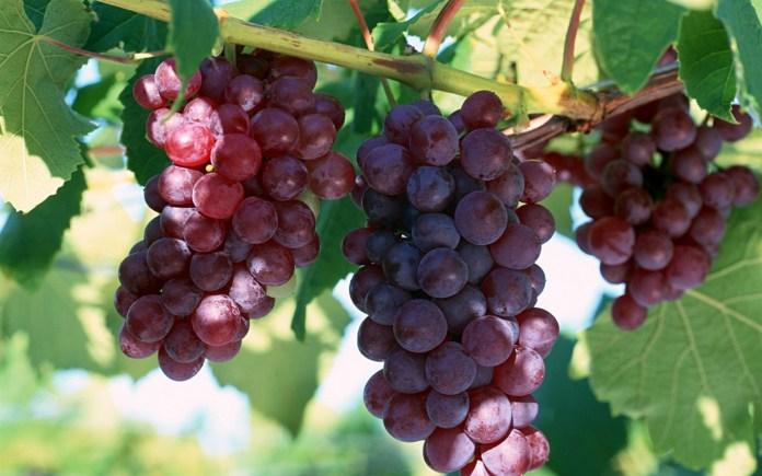 Одесские селекционеры создали новые сорта винограда