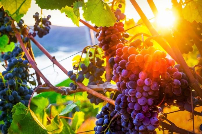 Виноградник: найкращий час саджання і обов'язкові обробки