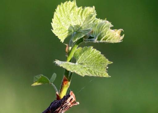 Важные подкормки винограда в период вегетации