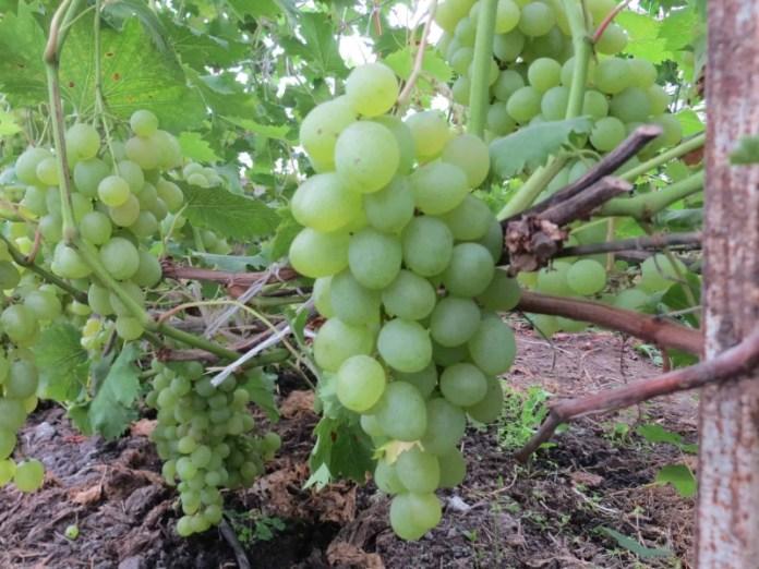 Какие сорта подходят для органического виноградника?