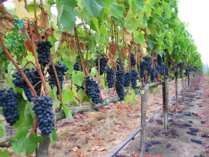 Одесские аграрии сокращают посадки винограда