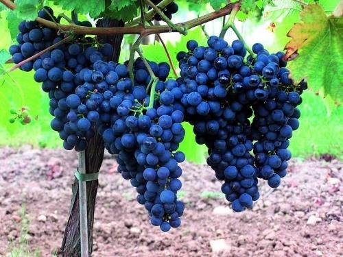 Почему урожайность на органическом винограднике ниже