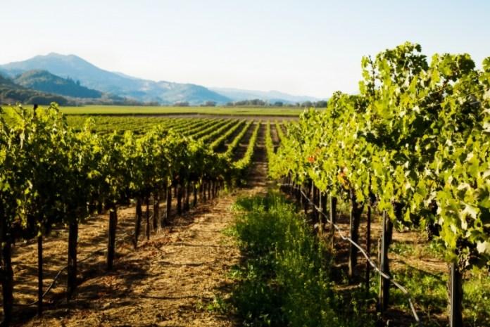 Какой виноград надо обрезать по минимуму?