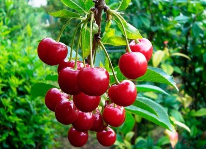 Самый простой способ размножения вишни