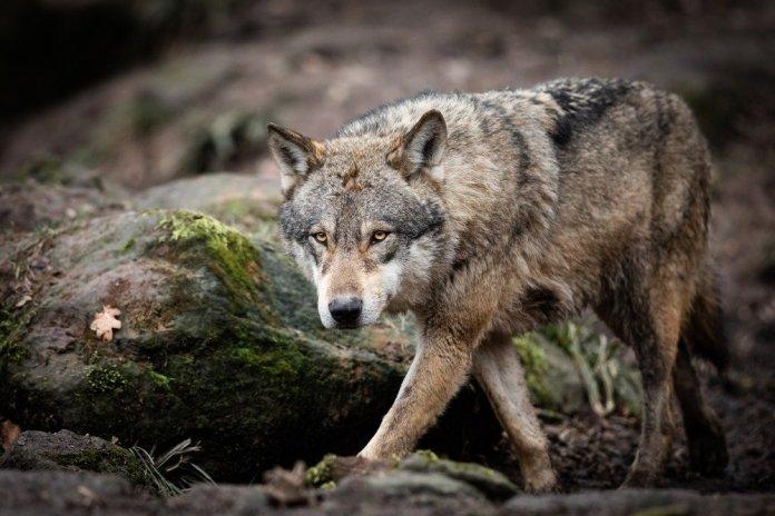 На Закарпатье волки нападают на домашних животных