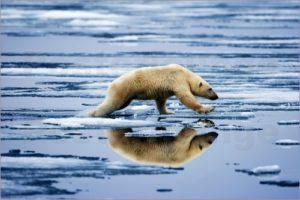 paul-souders-polar-bear-ursus-maritimus-leaping-across-pools-of-water-on-melting-fjord-ice-in-sabinebukta-bay-o-218876