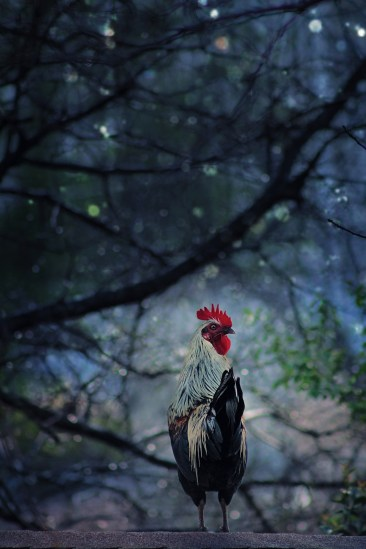 Rooster on the Run, Kimberly Fore