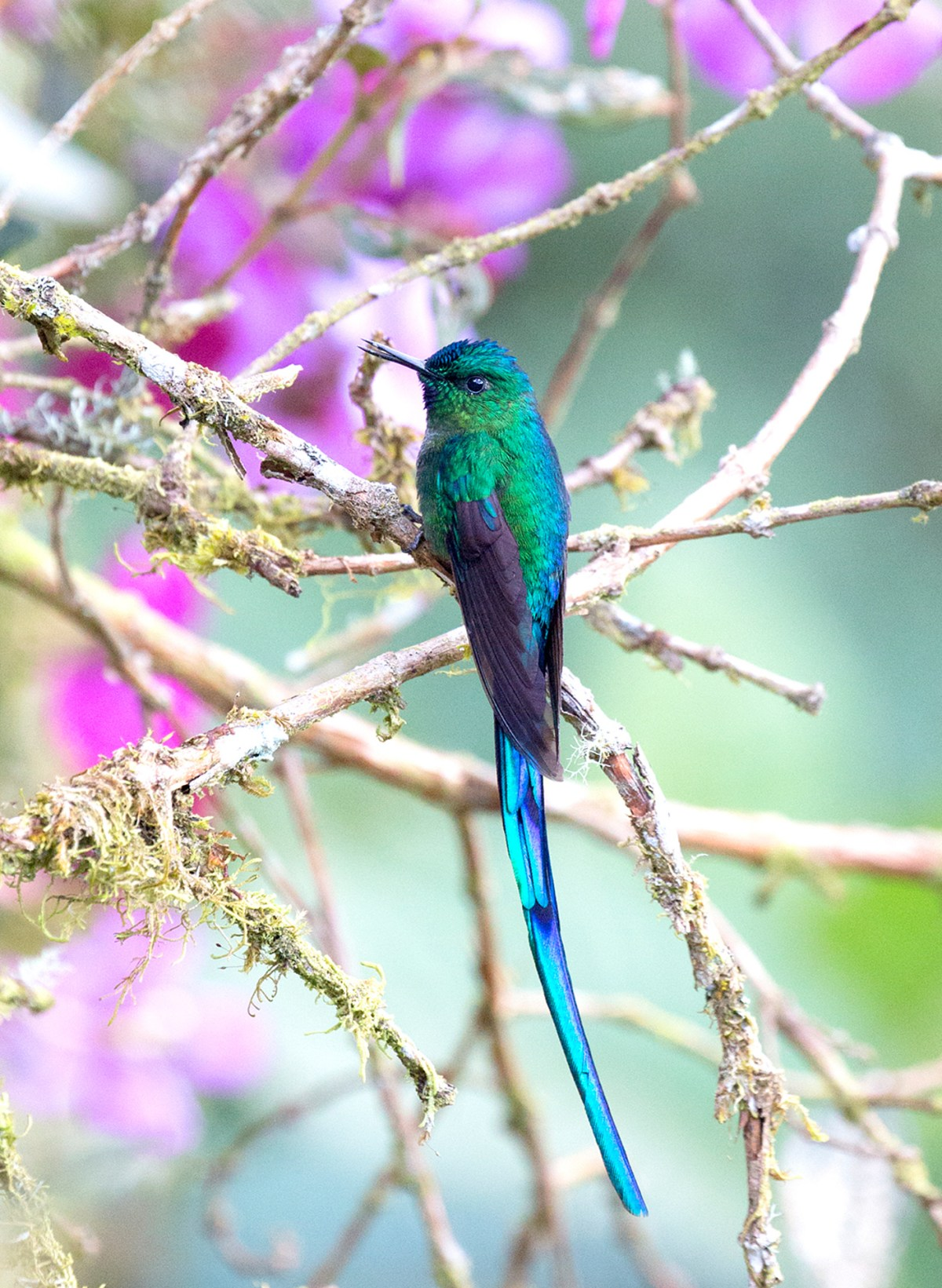Ecuadorian Jewel - Long-Tailed Sylph by Patti Mitchell