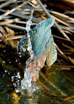Heron Diving For Dinner by Patti Mitchell