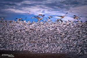 Randy Dykstra Bird flock