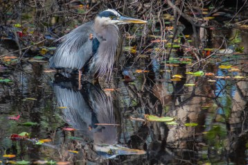 Great Heron Reflection by Donna Smith
