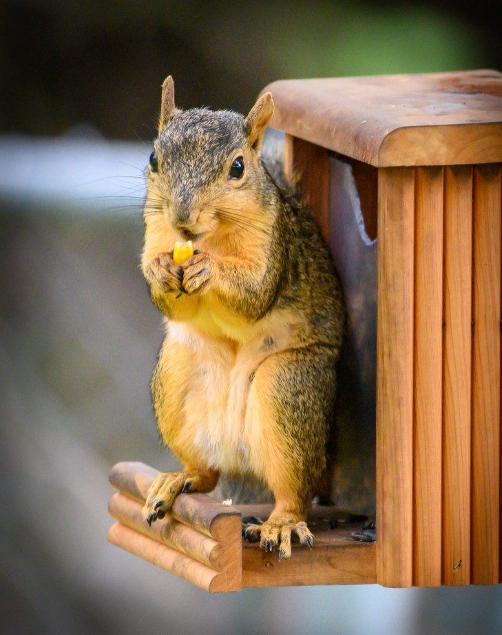 Hungry Squirrel by Ed Peet
