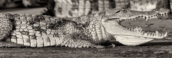 Suspect Crocodile by Troy Carter