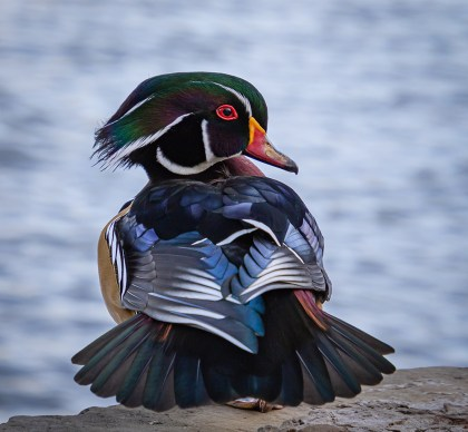 """Mr Wood Duck"" by Donna Smith"