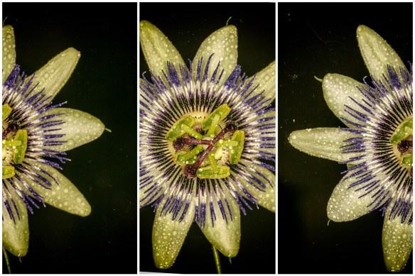 June 2014 Passion Flower, Mudchute, London, UK