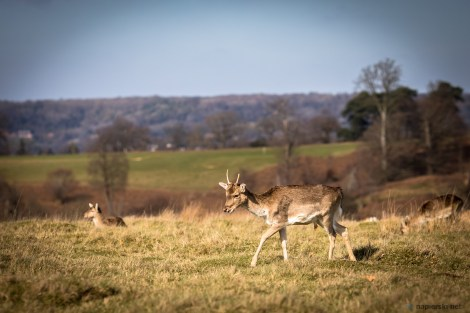 March 2017, Knole Park, Sevenoaks, UK