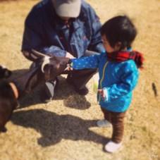 ヤギにキャベツをあげています。