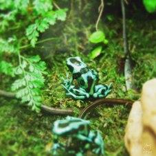 アマゾン展でみたヤドクカエルがいた!!吹矢の毒の原料カエルだよ。