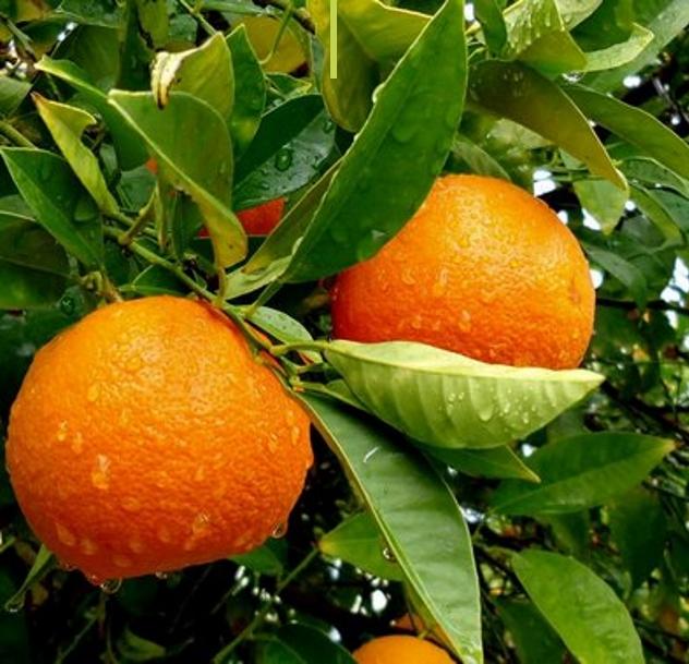 Comprar Naranja sevilla