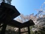 如意輪寺桜