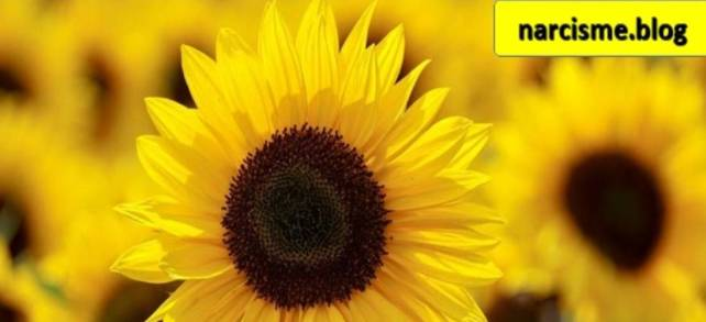 zonnebloem voor narcisme.blog