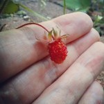 a photo of laurel green's hand holding a wild strawberry