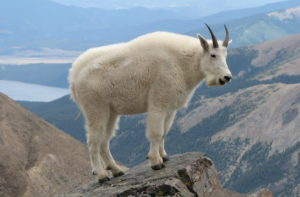 mountain goat--the narcissist family scapegoat